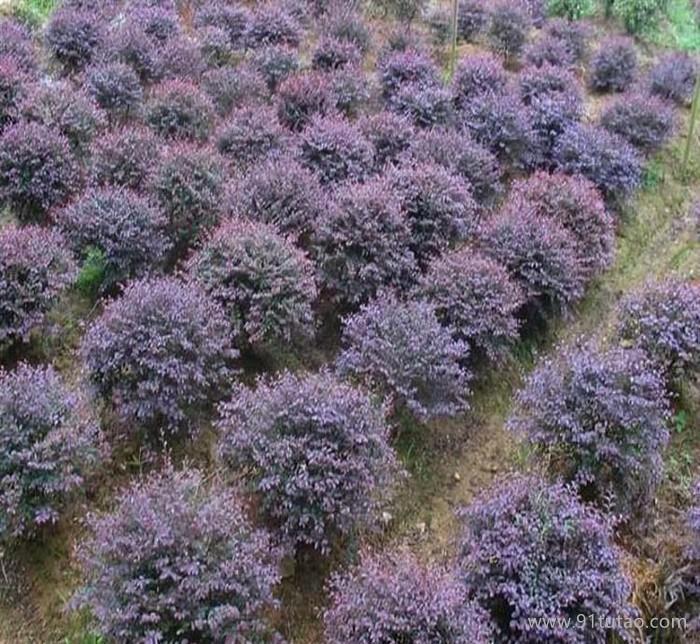 红花继木 红花继木球 红花继木苗 规格多 低价促销