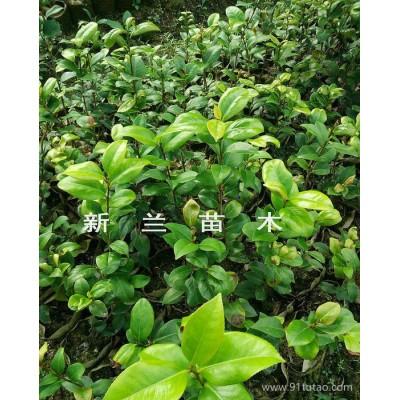 茶花苗 六角大红茶花苗  贝拉茶花苗 室内室外盆栽