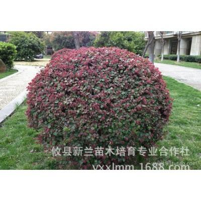 大量园林庭院绿化苗木、红花继木扦插小苗20cm