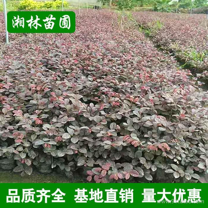 红花继木直销绿化批发 红花继木球 汇景园艺基地物美价廉
