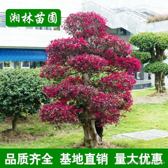 造型红花继木 红花继木球 工程绿化苗木 市政园林红花檵木桩