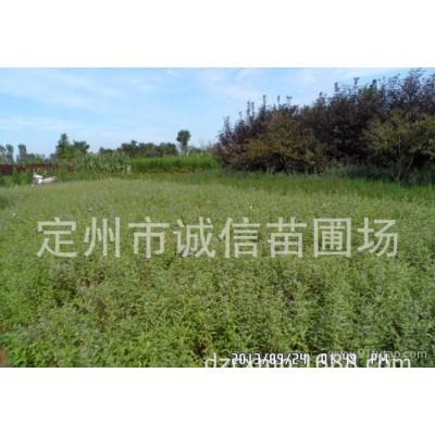 金叶莸价格 金叶莸批发 销售河北金叶莸 绿化苗木批发基地