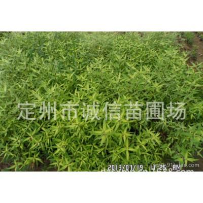 河北大量金叶莸诚信苗圃出售金叶莸优质金叶莸