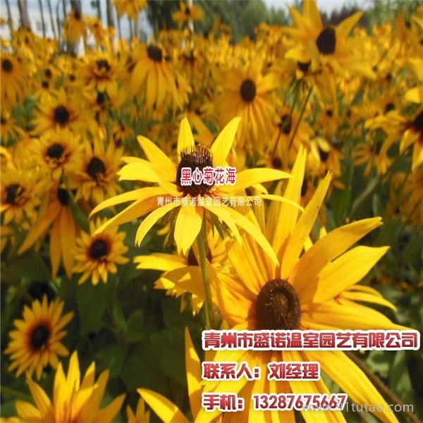 青州金叶莸,供应金叶榆,请找盛诺温室园艺
