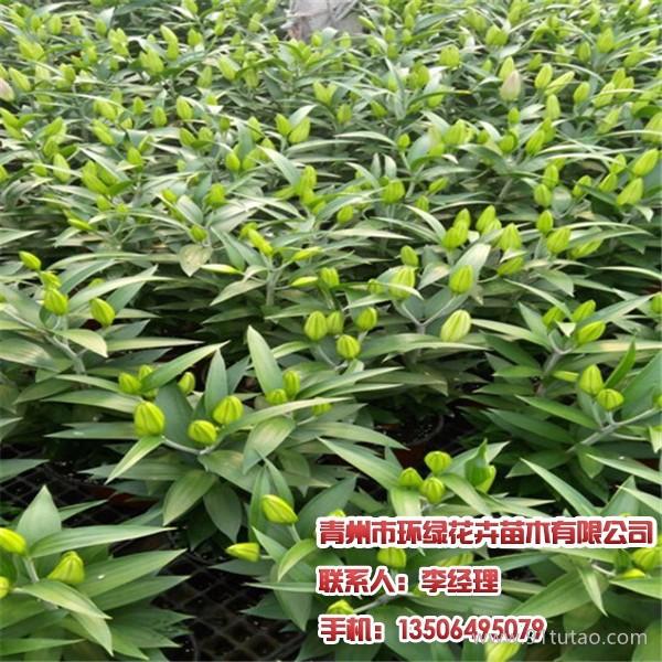 金叶莸,青州金叶女贞装箱,请找环绿花卉