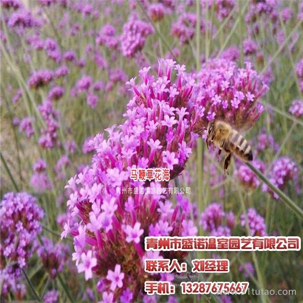 红宝石萱草,皇帝菊,请找盛诺温室园艺