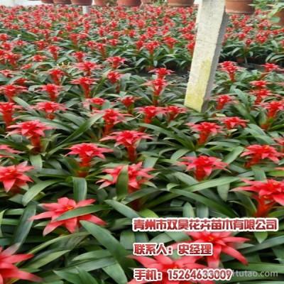 青州紫穗狼尾草价格,红宝石萱草,请到青州双昊花卉