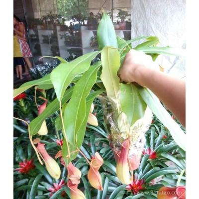 捕虫小盆栽植物 猪笼草(三株)105#东星花场直销