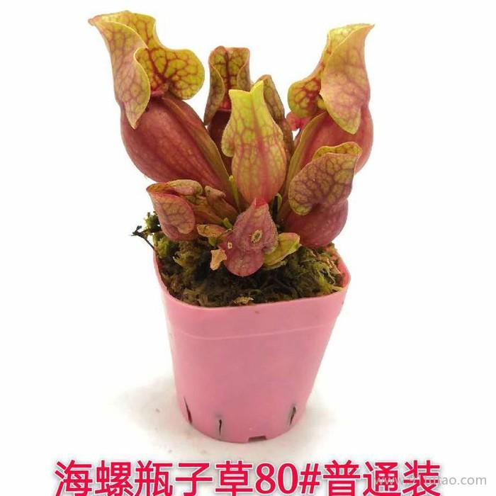 卖花郎园艺漳州小盆栽紫色海螺瓶子草 食虫植物-食虫草猪笼草瓶子