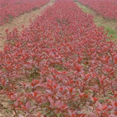 【新之圣苗木】 红叶小檗苗 红叶小檗苗报价 红叶小檗苗批发 西安红叶小檗苗苗圃