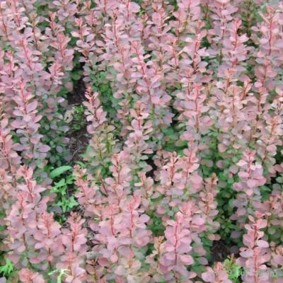 【新之圣苗木】 红叶小檗苗 红叶小檗苗报价 红叶小檗苗批发 西安红叶小檗苗种植基地