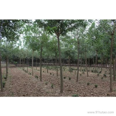 天隆 榉树       榉树厂家    榉树价格      河南榉树