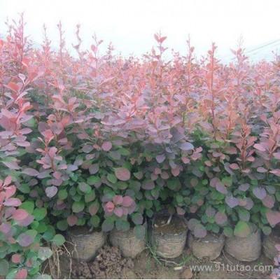 【新之圣苗木】 红叶小檗 红叶小檗价格 红叶小檗批发 成都红叶小檗基地