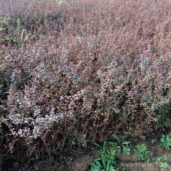 呼和浩特红叶小檗苗种植基地 红叶小檗苗价格 红叶小檗苗批发 30-50公分红叶小檗苗