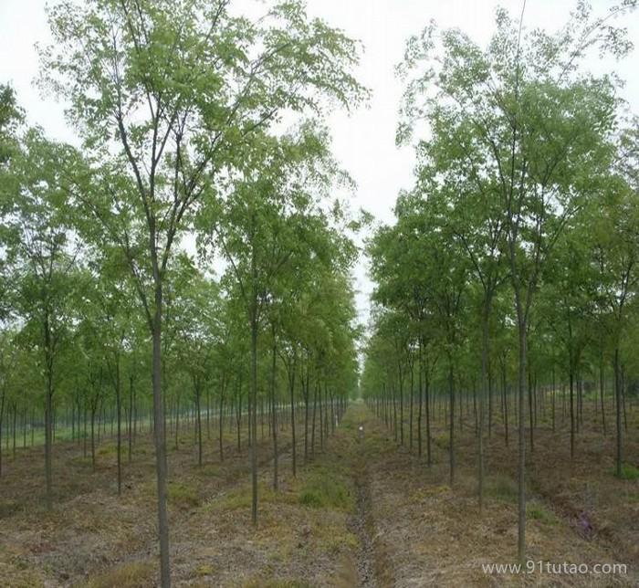 榉树 红榉树 榉树小苗基地直销大榉树 正宗红榉树 榉树苗