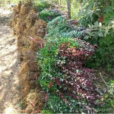 桂林红叶小檗苗基地 红叶小檗苗价格 红叶小檗苗批发 30-50公分红叶小檗苗