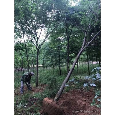 榉树   10公分300上车 苗木 榉树小苗 小榉树,汤泉榉树,榉树批发,榉树批发价格