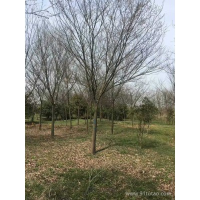 榉树 12公分550元上车,榉树,南京榉树树苗 量大价优,榉树供应厂家