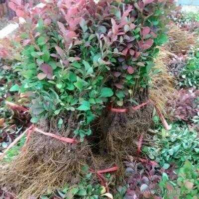 海南红叶小檗苗种植基地 红叶小檗苗价格 红叶小檗苗批发 30-50公分红叶小檗苗