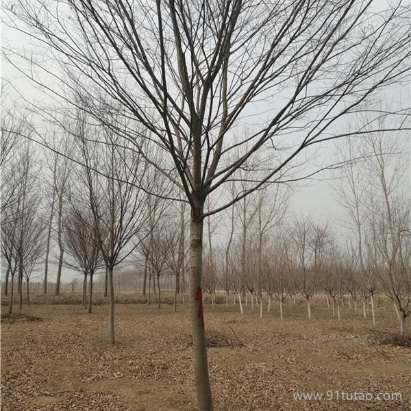 红榉树 红榉树价格 红榉树小苗 大叶榉 鸡油树