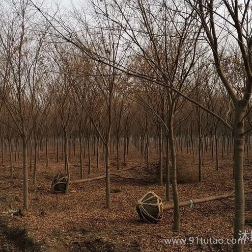 江苏供应榉树 红榉树 榉树基地 榉树价格 10-20公分榉树