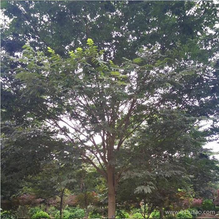 榉树木风景美化工程常绿乔木 榉树苗 红叶榉树 榉树基地