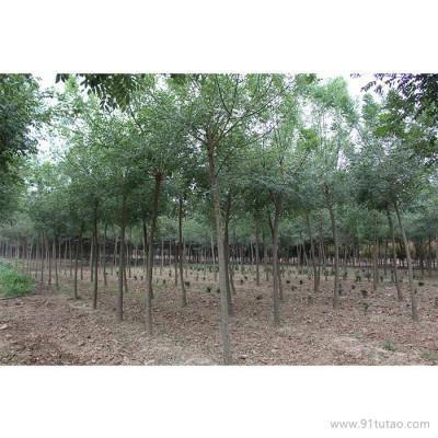 天隆 榉树    榉树价格    榉树厂家    河南榉树     供应榉树   厂家直销