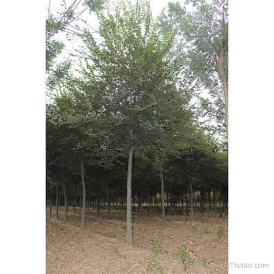 天隆 榉树       榉树厂家    河南榉树   榉树价格