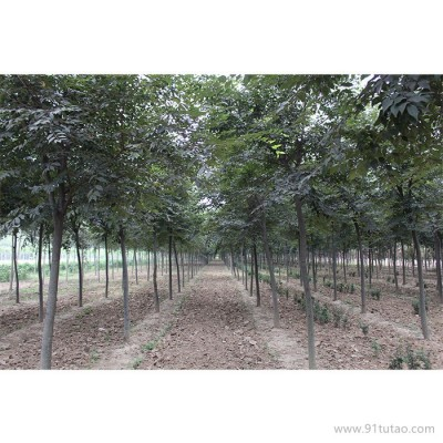 天隆 榉树    榉树价格    榉树厂家    河南榉树
