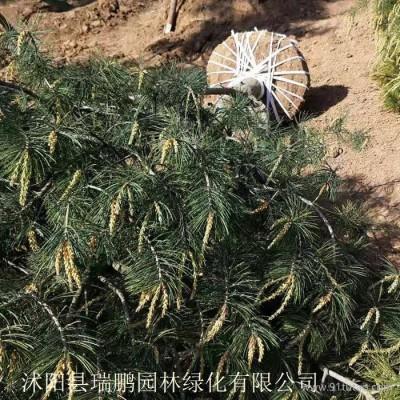 白皮松 白皮松基地 白皮松批发 白皮松种植基地 白皮松苗 高2.5米 冠幅2米