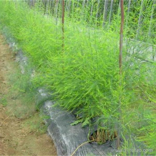 益硕丰种业伊诺斯F1(ENOS)  芦笋种子 进口芦笋种子 高产芦笋种子