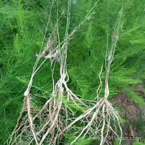 优质芦笋苗供应