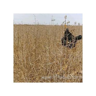 沙棘苗批发,沙棘苗价格咨,供应沙棘苗,沙棘苗厂家,沙棘小苗