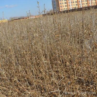 大量供应沙棘苗 一年生沙棘小苗 沙棘果 沙棘树
