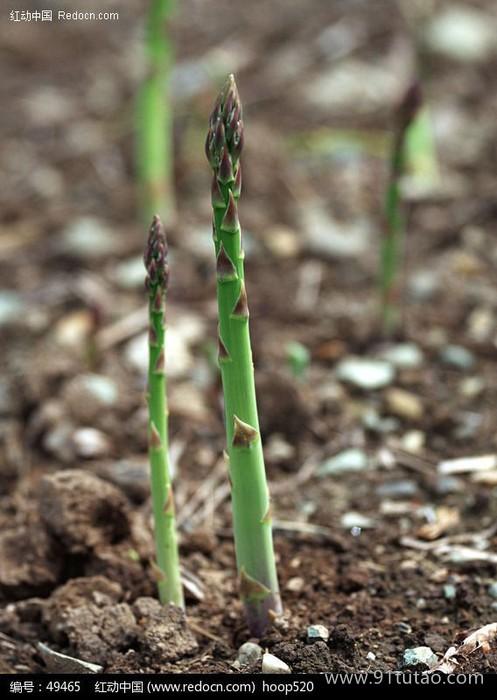 国产 芦笋种子 质量可靠 品质保证