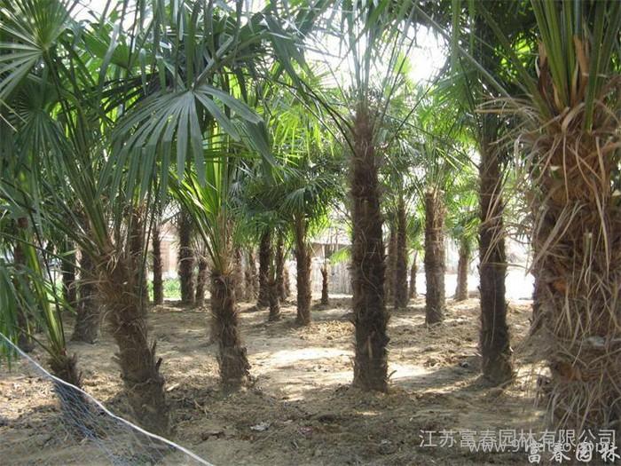 棕榈,北方耐寒棕榈树,别称唐棕、中国扇棕、棕树,江苏富春园林苗圃常年大量供应出售优质棕榈绿化苗,价格低品种优欢迎采购批发