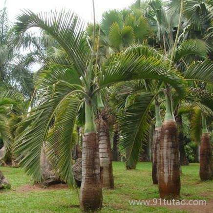 江苏 棕榈大量直销棕榈 绿化苗木 园林棕榈 大型苗木 大棕榈苗 棕榈类植物