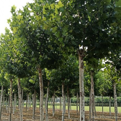 泰和造型法桐 15公分法桐 法桐法桐小苗 造型法桐小苗