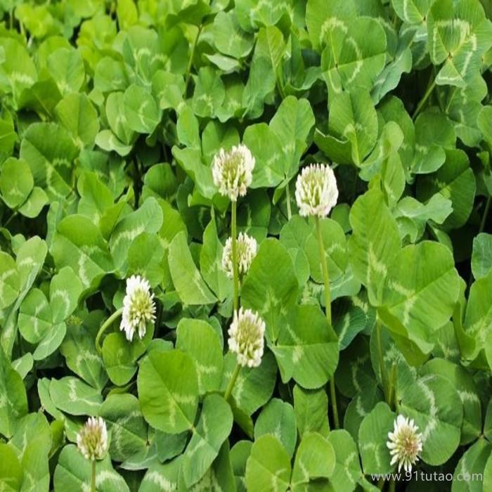供应桂花种子,四季桂,丹桂,金桂,银桂种子 批发各类桂花种子