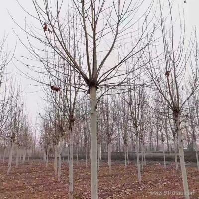 法桐扦插  速生法桐 速生法桐种植 3公分速生法桐 树形优美