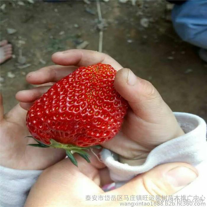 天水市一年生西府海棠高原之火海棠苗大叶垂丝海棠苗报价平均单果400克