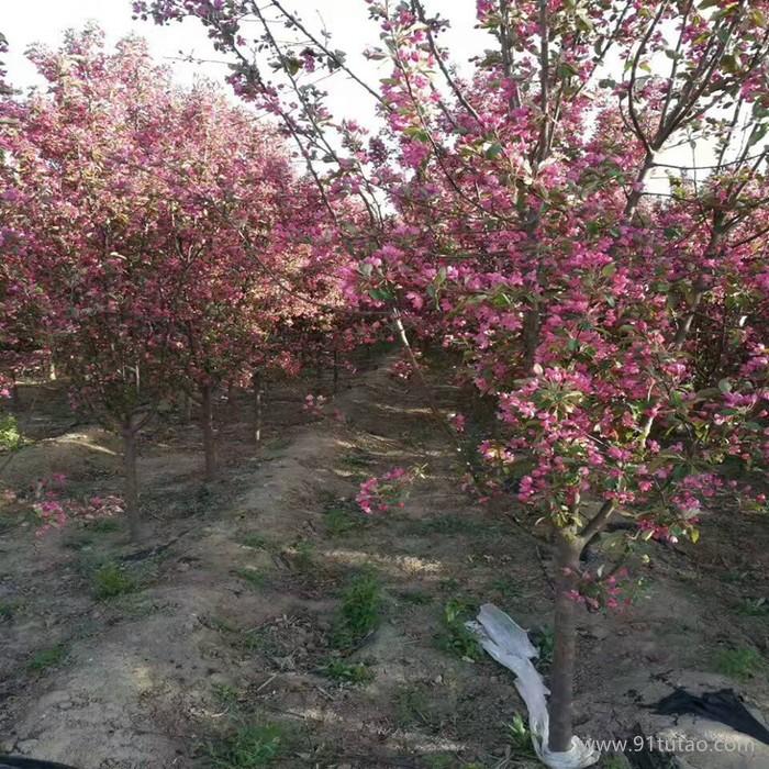 大果型绚丽海棠供应商垂丝海棠销售价格