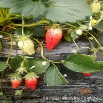 秦皇岛市速生西府海棠苗凯尔斯海棠苗山东垂丝海棠苗品种平均单果400克