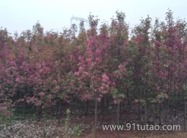 烟台市海棠苗厂家平均单果400克