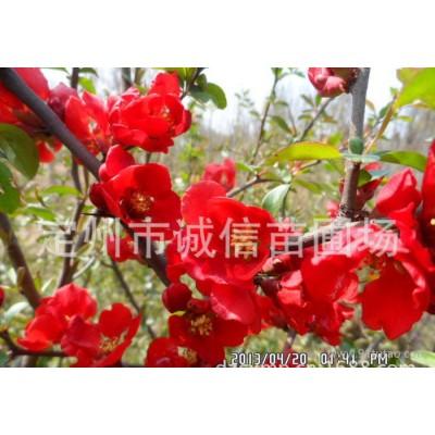 北京各种规格海棠 西府海棠;海棠果;大棵贴梗海棠绿化苗木