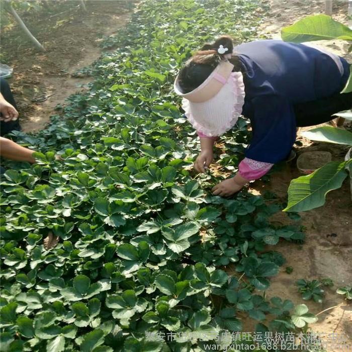 合肥市一年生西府海棠北美海棠苗山东垂丝海棠苗品种平均单果400克