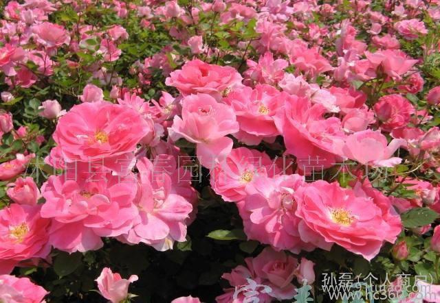 丰花月季-沭阳苗木基地的丰花月季新品种-仙境