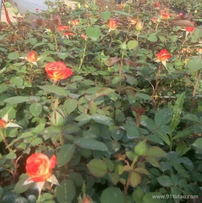 山东月季批发 大花月季  品种齐全 青州鑫超花卉