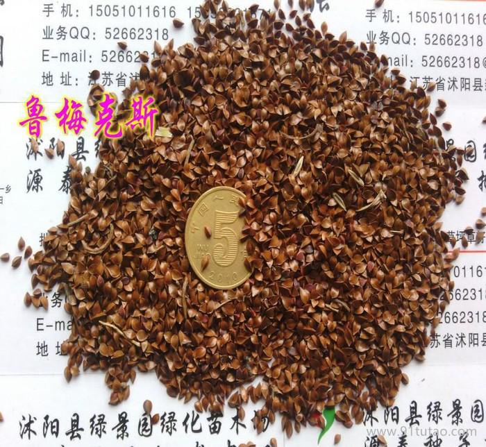进口高产量牧草种子 鲁梅克斯种子 洋铁叶子高秆菠菜低价促销