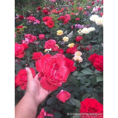 山东月季批发 大花艳丽月季批发 红帽月季 规格齐全 青州鑫超花卉价格  丰花月季